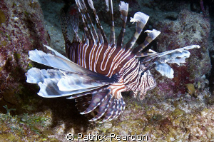 Lionfish, Grand Cayman.  Unfortunately, very healthy spec... by Patrick Reardon 